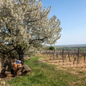 Tokaj-Spring-2015-mad-vineyard tour
