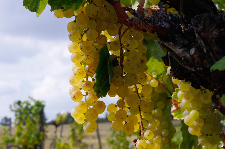 Hárslevelű grapes at Hegymegi (16th Sept)