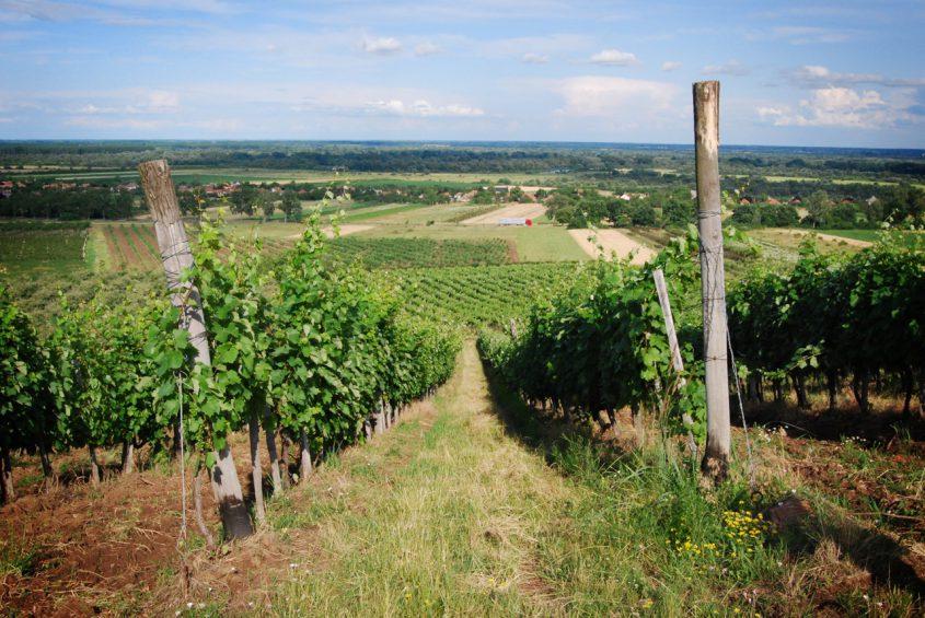 Kvaszinger vineyard 2 photo