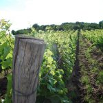 Kvaszinger vineyard photo