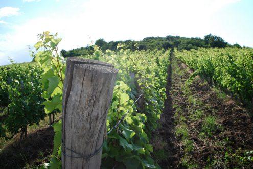 Kvaszinger vineyard photo