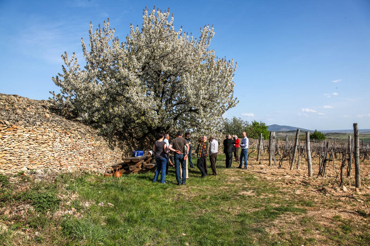 Tokaji tavasz 2015 madi dulotura Szepsy vineyard tour photo