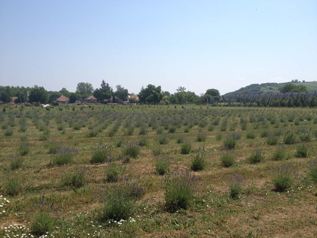 z-z-lavender-IMG_5797
