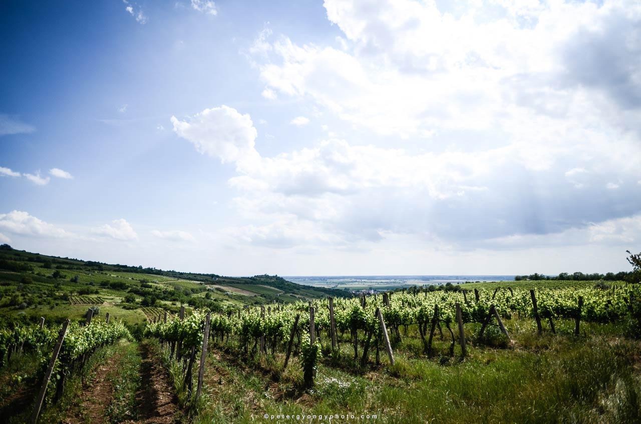 Basilicus szőlő