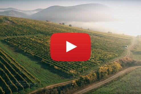 Aszú szüret Tokaj-hegyalján